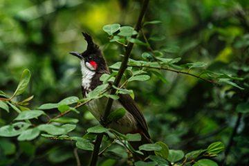 Lintu laulaa äänekkäästi nokka isosti aukinaisena keskellä vihreitä puun oksia.